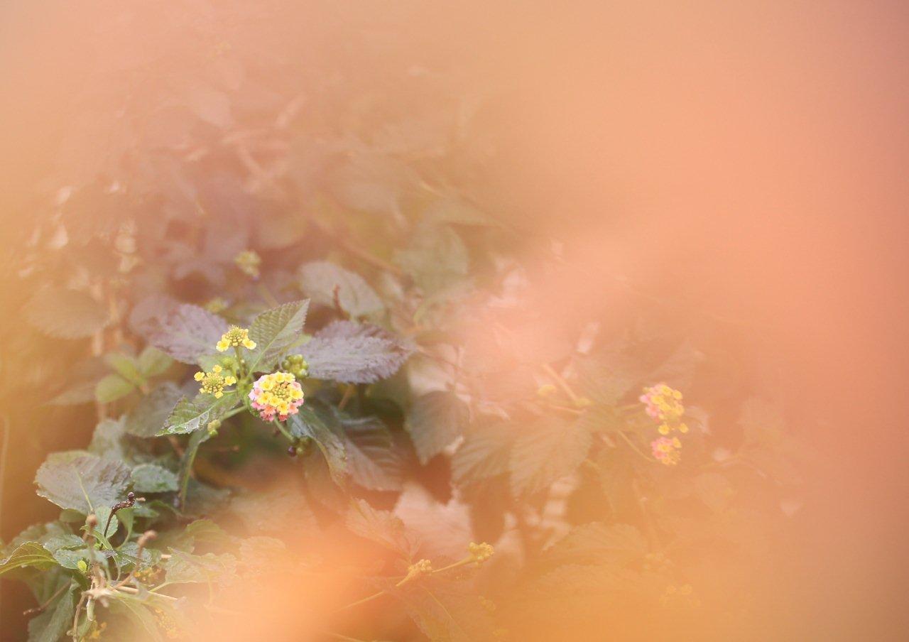 桜紅葉ランタナ