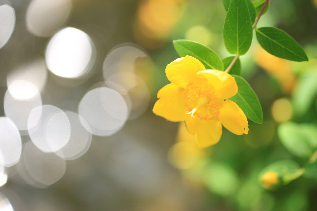 キンシバイ(金糸梅の花)