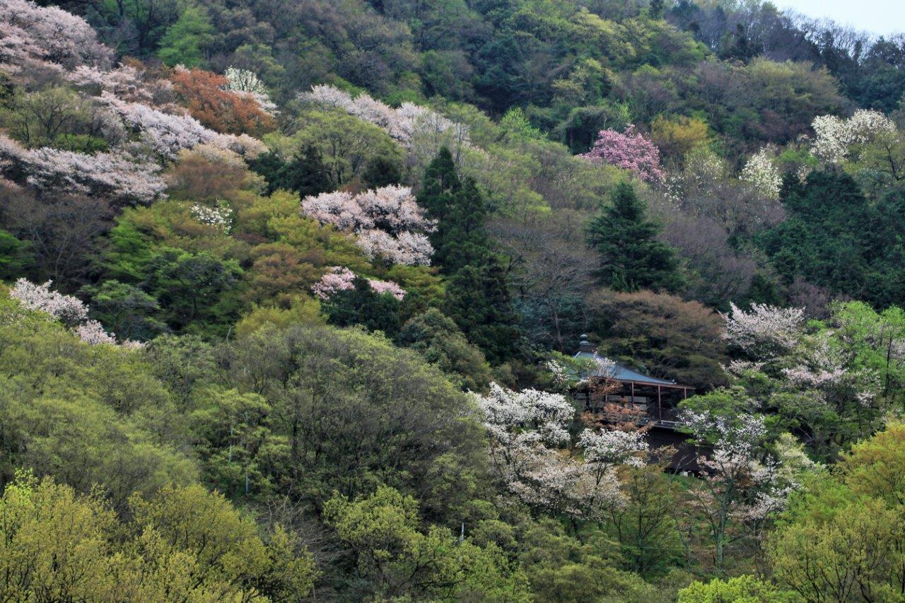 山寺にも春がきた