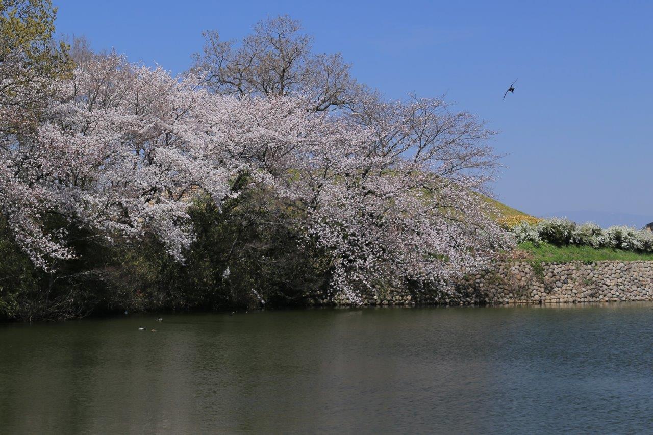 古墳の桜花