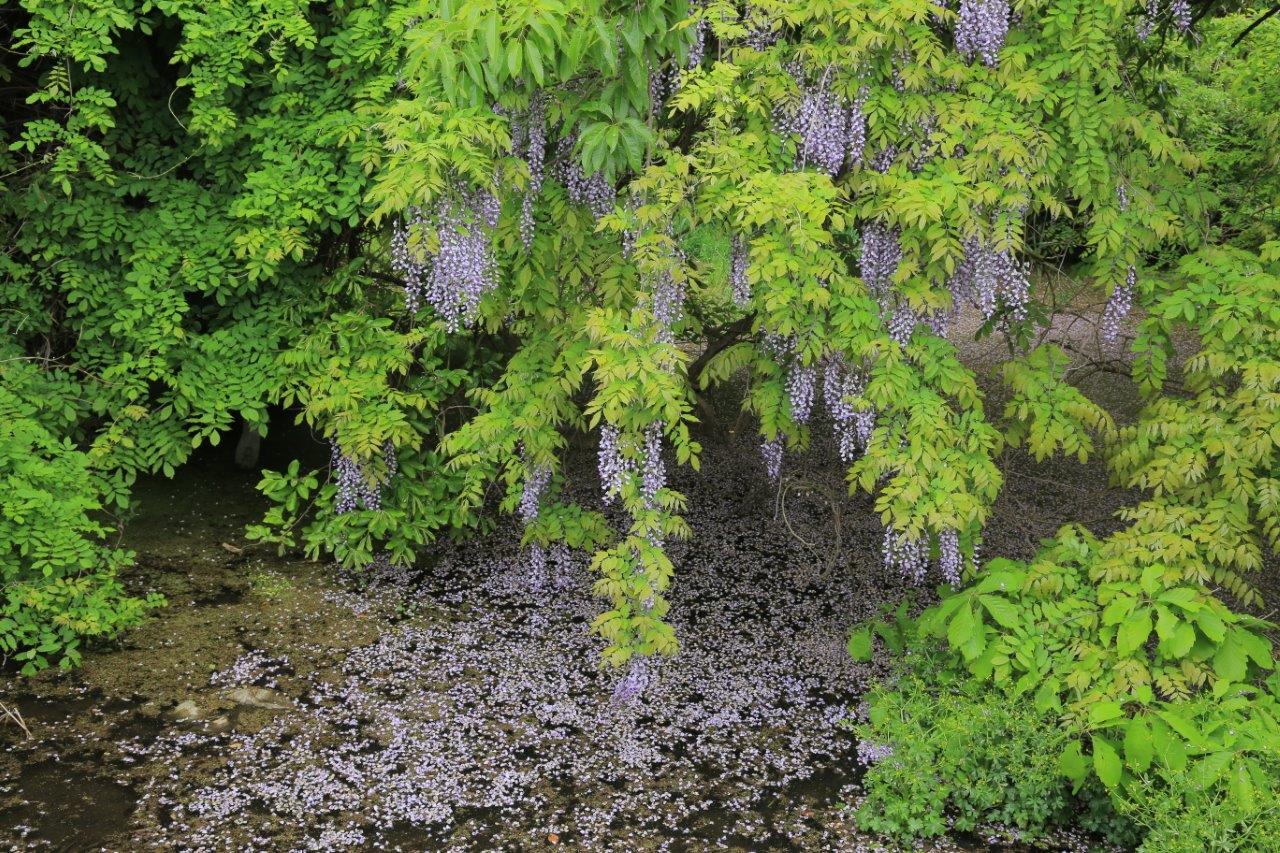 水面も藤の花