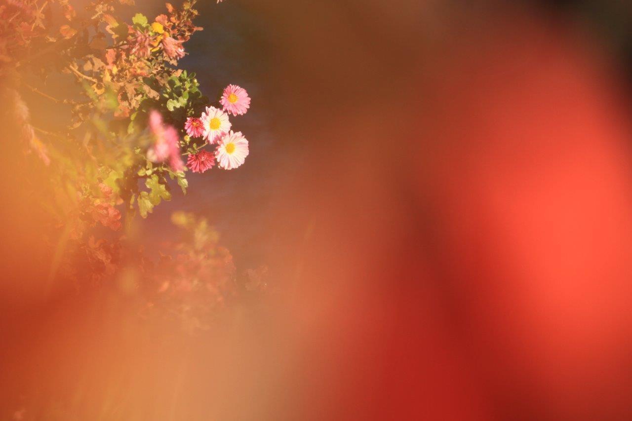 色葉と小菊