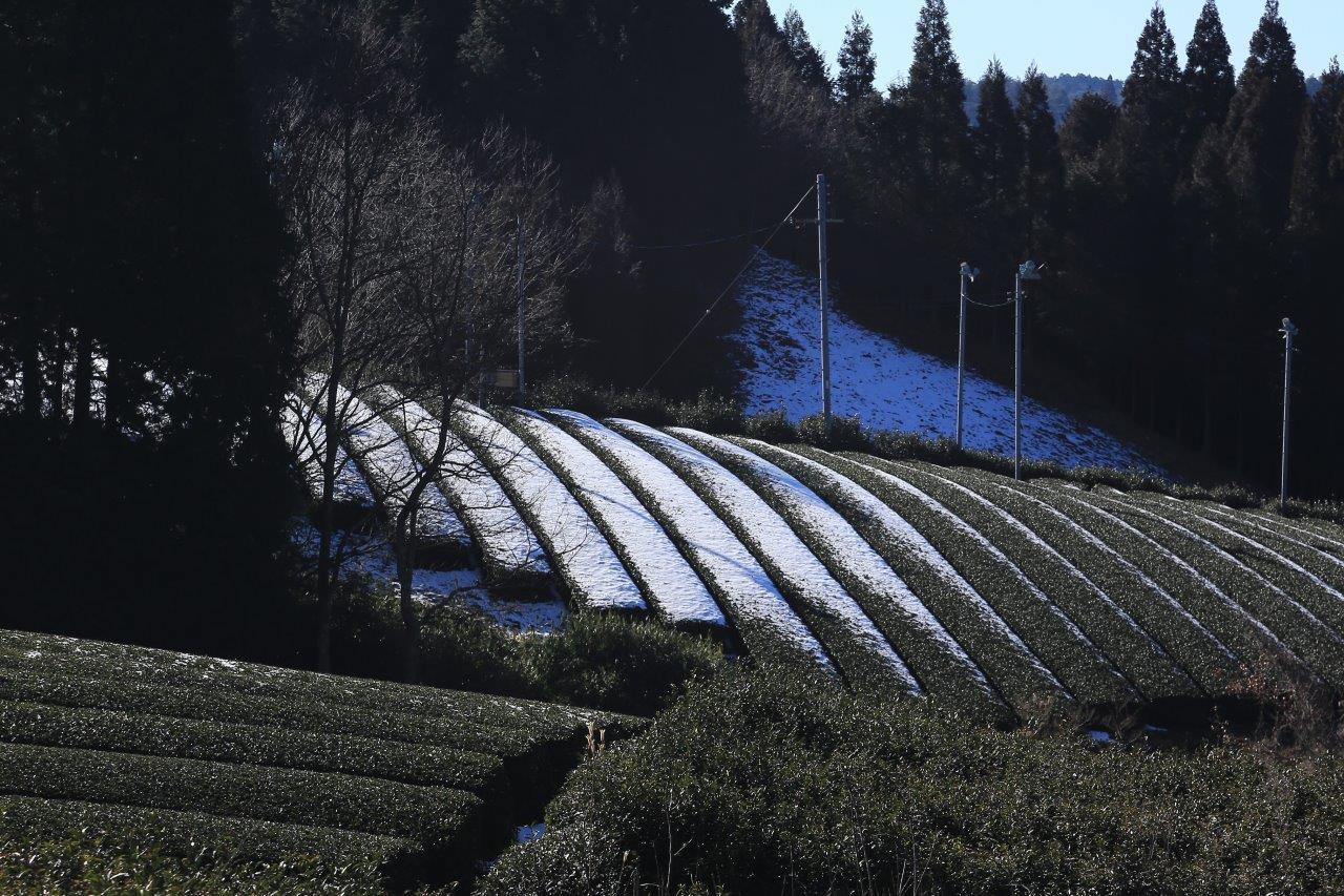 薄雪の茶畑