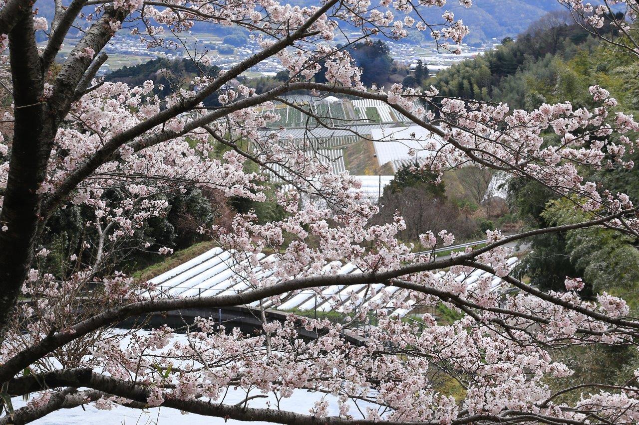 里畑を見る桜