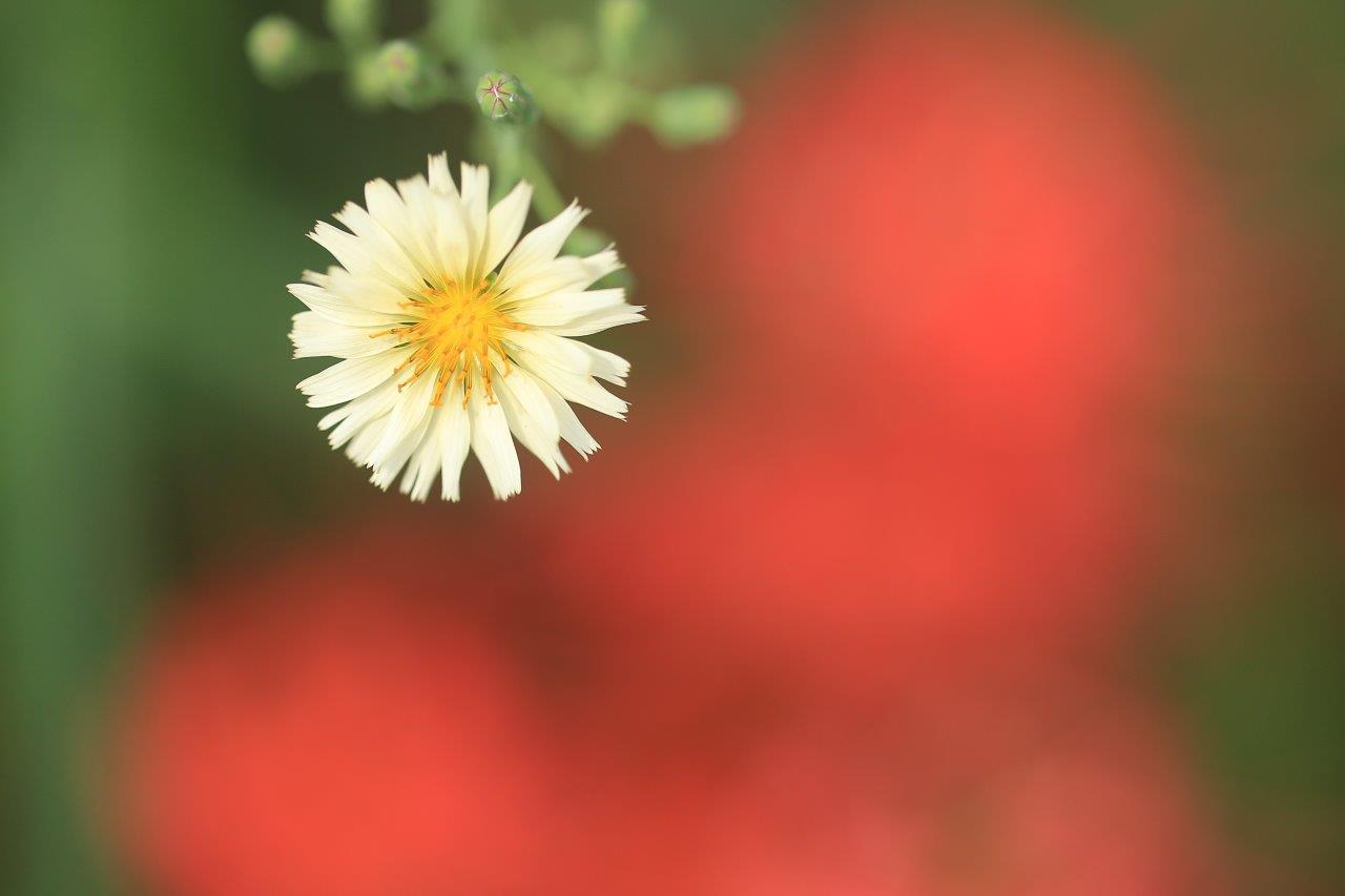 秋の野芥子