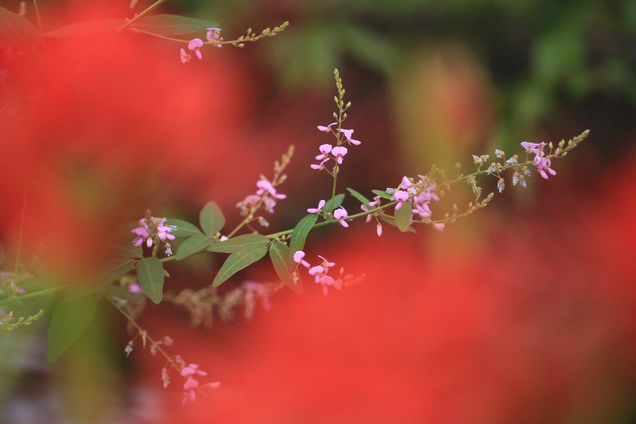 野萩の咲くころ