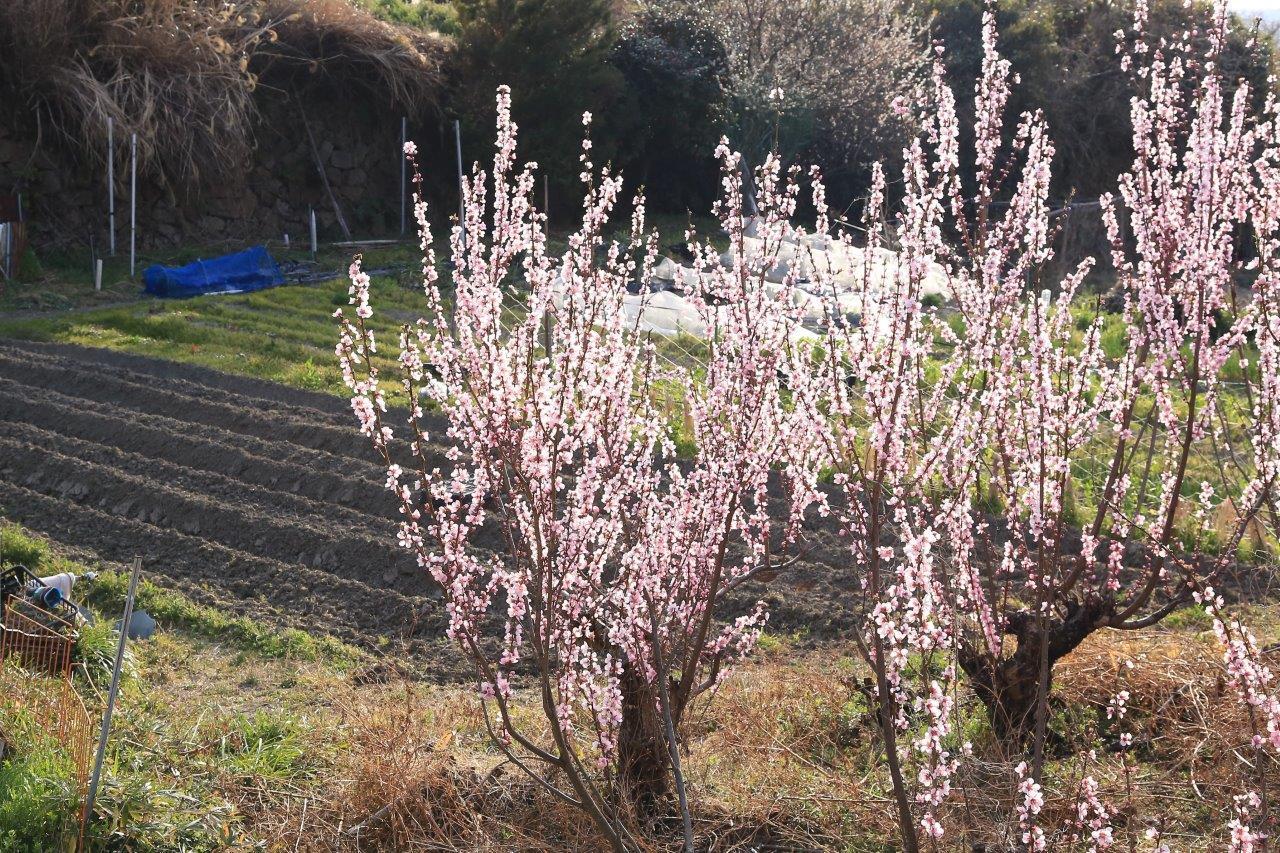 春小さな里畑