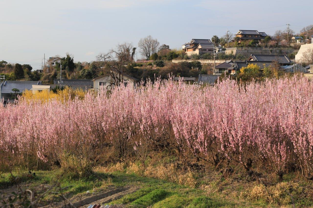 花桃の咲く頃