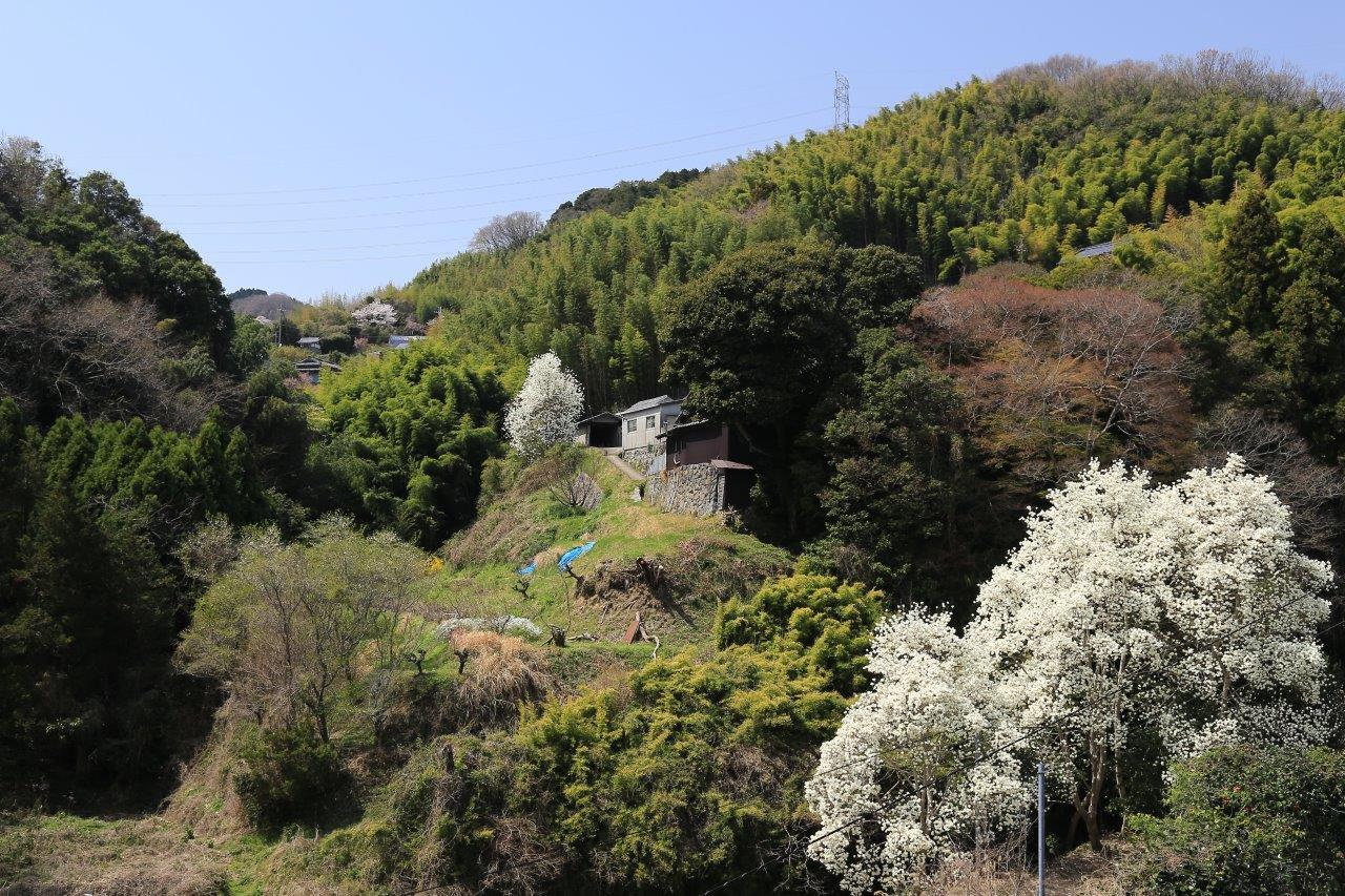 ハクレンの咲く山の里