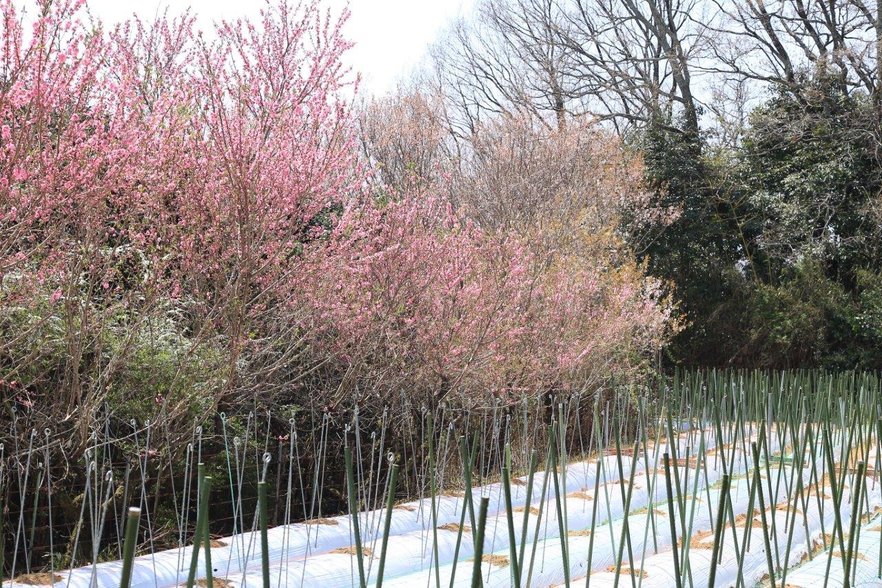 花桃咲く山の畑