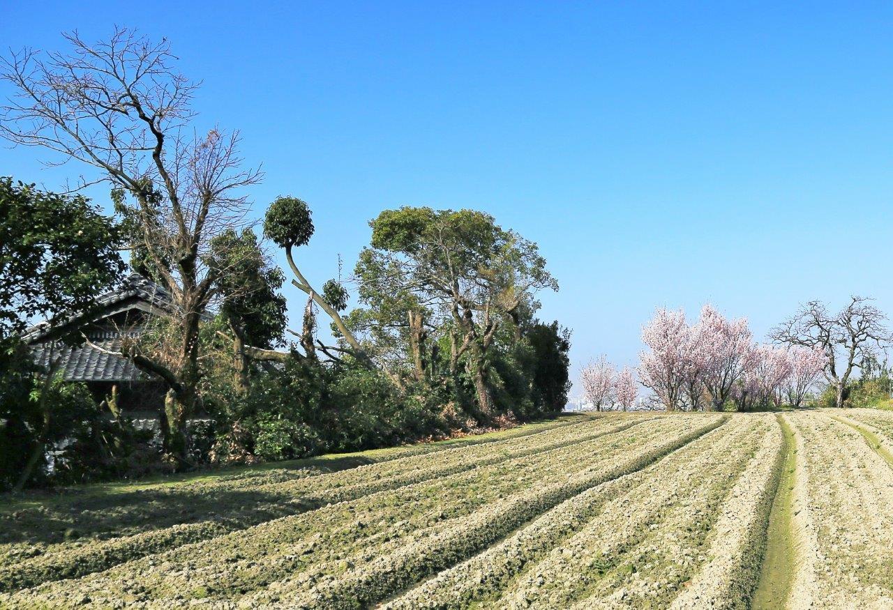 里畑にも春が