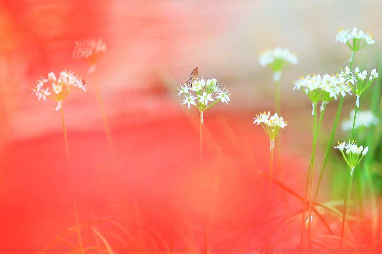 彼岸花とにら花と蝶